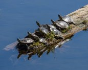 Painted Turtles Sunning at Taghum