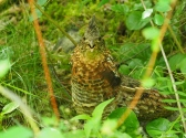 A Ruffed Grouse Female Protecting her Young