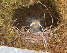 American Dipper Chick in the Nest