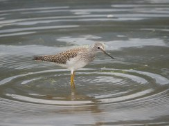 Greater Yellowlegs at Kokanee