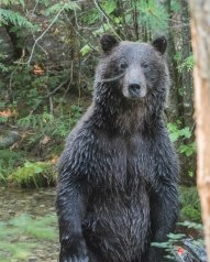 Young Grizzly Male at Kokanee Creek - the first sighting of a grizzly at Kokanee in 20 years