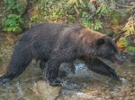 Grizzly fishing for Kokanee Salmon