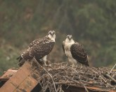 Fledgling Osprey Waiting for a Meal