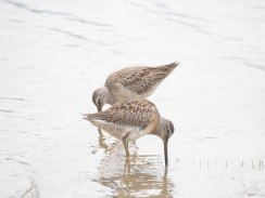 Long-billed Dowitchers at Kokanee Creek