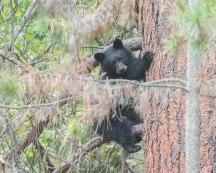 "Black Bear Cub ""just hanging around"""