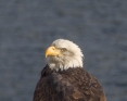 A Bald Eagle on Kootenay Lake