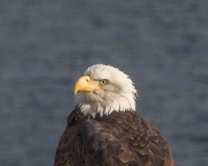A Bald Eagle on Kootenay Lake