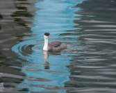 Western Grebe at Nelson Waterfront