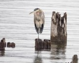 A Winter Great Blue Heron on the Nelson Waterfront