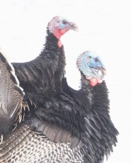 Male Turkeys Displaying in the Snow
