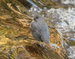 American Dipper at Kokanee Creek