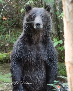 Grizzly Bear at Kokanee Creek Provincial Park, B. C.